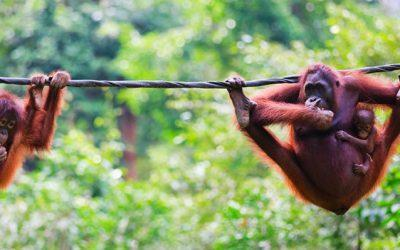 Save water or save Sumatra's Tapanuli orangutan?